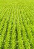 Rice field. Green rice field in Japan Stock Photos