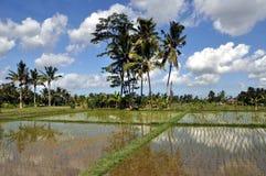 Rice field. Bali rice field, Ubud, Indonesia Stock Photography