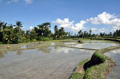 Rice field. Daily work on rice field close to Ubud, Bali, Indonesia Royalty Free Stock Images