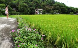 Rice field. Rows of rice on a wet rice field royalty free stock photo