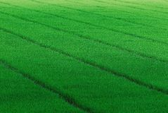 Free Rice Field Stock Photography - 12508002