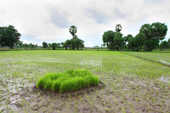 Rice field. Photograph of young rice plants ready to grow Royalty Free Stock Images