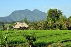 Rice field. Beautiful rice field, Bali, Indonesia Royalty Free Stock Image