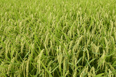 Rice field. Green rice field. Rice grain Stock Photos
