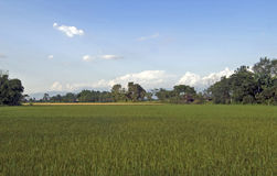 Rice field. Under blue sky in Nepal Royalty Free Stock Photo