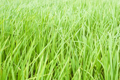 Rice Field. South of Thailand Royalty Free Stock Photos
