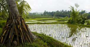 Rice field. Photo of a rice field in Bali, Ubud Stock Images