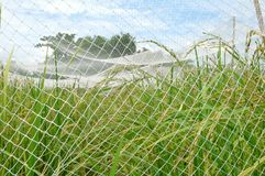 Rice field. With net cover Stock Photography
