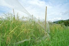 Rice field. With net cover Royalty Free Stock Photos