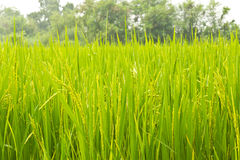 Rice Field. In bangkok thailand stock photos