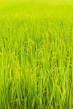 Rice Field. In bangkok thailand stock photo