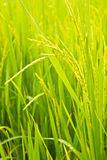 Rice Field. In bangkok thailand stock photography