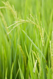 Rice field. The verdancy of rice field Royalty Free Stock Image