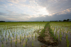 Rice field. In north of thailand Royalty Free Stock Photography