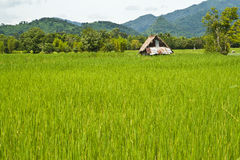 Rice Field. A hut at the middle of rice field Royalty Free Stock Photos