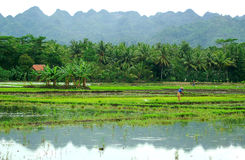 Rice Field. Beautiful scenery of rice field in Central Java, Indonesia Royalty Free Stock Image