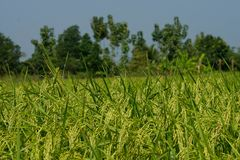 Rice field. A Colourful Rice field backdrop on blue sky stock images