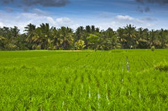 Rice field. At ubud bali stock photo