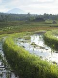 Rice field Stock Photography