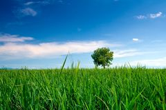 Rice field Royalty Free Stock Images