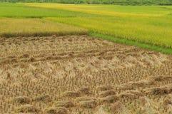 Rice field Royalty Free Stock Photos