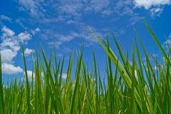 Rice field. The verdancy of rice field stock photos