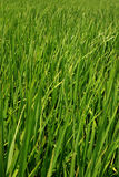 Rice field. The green grass of a rice field Stock Photos