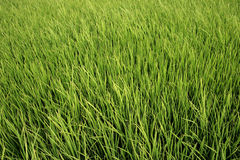Rice field. The green grass of a rice field Stock Images
