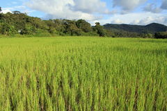 Rice Field. In Coorg Kodagu India green plants Royalty Free Stock Image