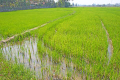 Rice field. The green rice field in thailand Royalty Free Stock Photography