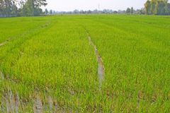 Rice field. The green rice field in thailand Stock Photography