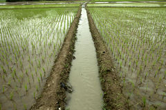 Rice field. View at subang-west java-indonesia Stock Photography
