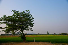 Rice field. The verdancy of rice field Royalty Free Stock Photos
