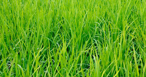 Rice field. The verdancy of rice field stock photography