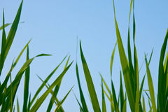 Rice field. The verdancy of rice field royalty free stock photography