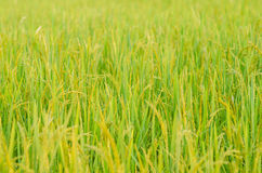 Rice field Stock Images