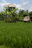 Rice field. With religious houses. Bali, Indonesia Royalty Free Stock Photos