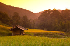 Rice field. On evening time chiangmai thailand Royalty Free Stock Image