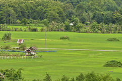 Rice field. Green rice field in Thailand Stock Photo