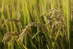 Rice Field. Ripe rice in the field Stock Images