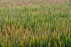 Rice Field. Landscape of golden paddy field in autumn stock photo