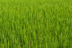 Rice Field. Green Rice Field in a bright day, Thailand Stock Images