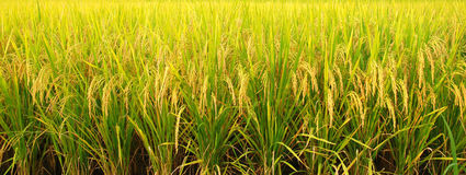 Rice field. Landscape of rice field crop Stock Images