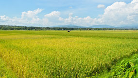 Rice field. The beautiful landscape of rice fields in Thailand. 9:16 Stock Photography