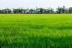 Rice field on the countryside of Thailand Stock Photos