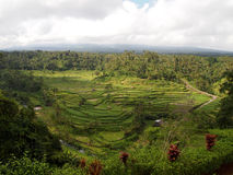 Rice field in Bali. A view of a beautiful rice field in Bali, Indonesia stock photography