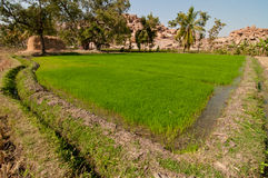 Rice field. Green rice field in india Royalty Free Stock Photos