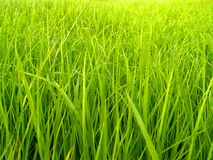 Rice field 3 Royalty Free Stock Photos