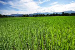 Rice field 3 Royalty Free Stock Image