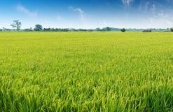 Free Rice Field Royalty Free Stock Photos - 34824298